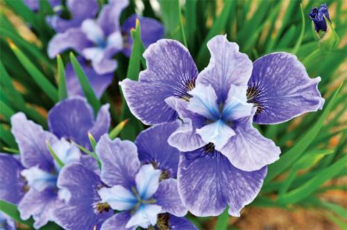 Украшаем сад для детей ирисами