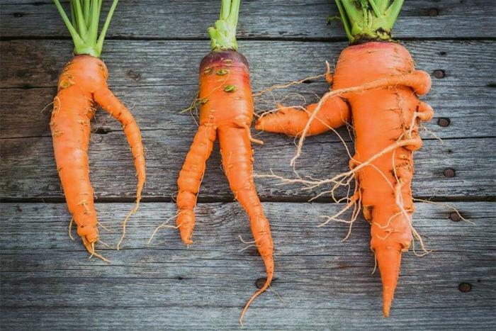 Почему морковь рогатая и деформированная — основные ошибки