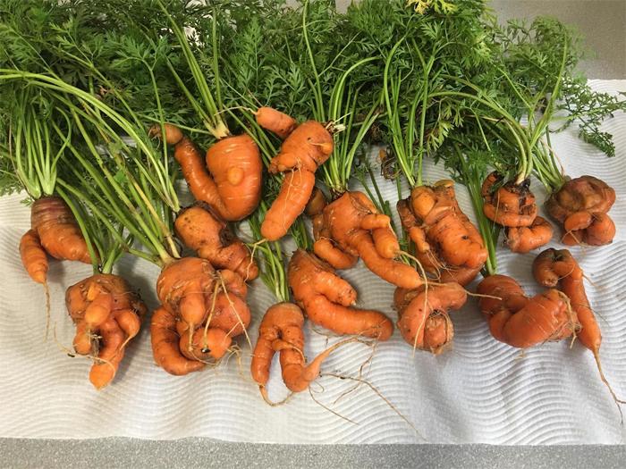 Почему морковь рогатая и деформированная - основные ошибки
